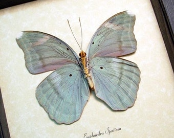 Real Framed Euphaedra Spatiosa Female Verso Butterfly 8286