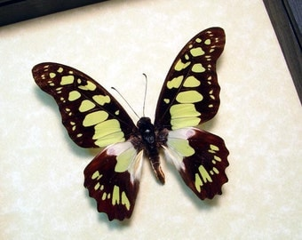 Graphium Tynderaeus Real Framed Electric Green Swordtail Butterfly 435
