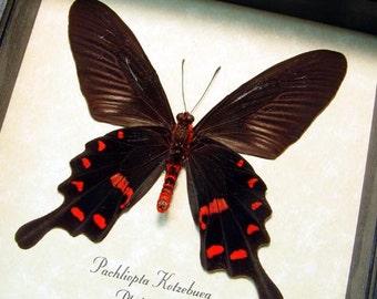 Pachliopta Kotzebuea Verso Rare Real Framed Pink Rose Swallowtail Butterfly 8356