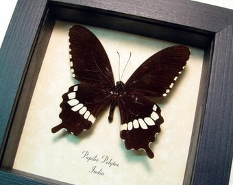 Papilio Polytes Real Framed The Common Mormon Swallowtail Butterfly 8359
