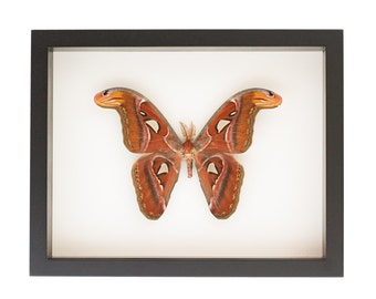 Framed Atlas Moth Insect Display