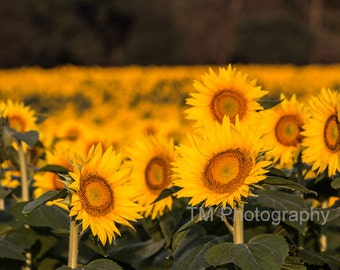 Sunflower Photography - Sunflowers - Sunflower Field - Sunny - Yellow Flowers - Happy - Bright Colors - Nature - Fine Art Photography