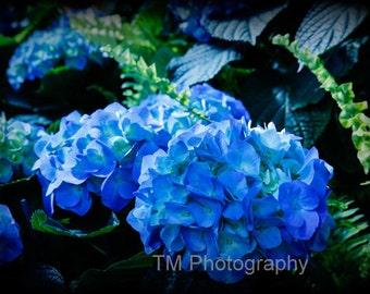 Blue Hydrangeas - Dreamy - Old Fashioned Hydrangeas - Old Fashioned - Old Fashioned Flower - Blue Flower - Fine Art Photography