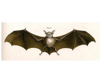 1860 ANTIQUE BAT ENGRAVING print original rare antique engraving - Leaf-nosed Bat
