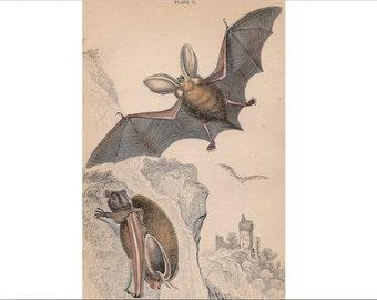 1838 BATS ENGRAVING - original antique print -  long eared bats