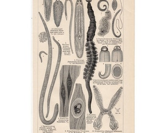 1889 WORMS original antique print no 2