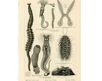 1889 WORMS original antique print no 1
