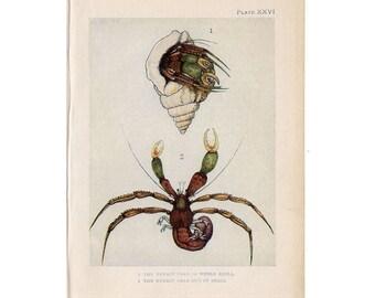 c. 1907 ANTIQUE CRAB lithograph - original antique print - sea life marine beach ocean -hermit and pea crabs
