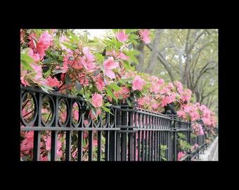 Pink Horizontal Wall Print-Azalea Photography-Wrought Iron Fence-Charleston-South Carolina-Fine Art Photography Print-Fuchsia/Green/Black