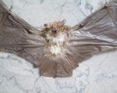 Ghost Bat Specimen - SHIP FREE 1