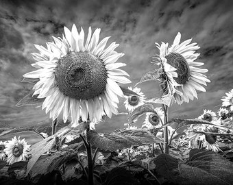 Sunflowers Blooming in a Field near Rockford Michigan No.223 A Fine Art Black and White Flower Nature Photograph