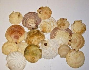 17  SCALLOP SHELLS. seashells vintage supply No.00200
