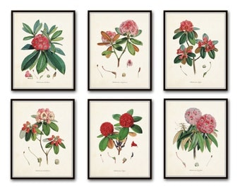 Rhododendron Print Set No. 1, Botanical Prints, Giclee, Art Print, Antique Botanicals, Vintage Botanicals, Illustration, Flower Prints
