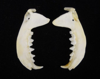 "1.5"" Mink Jaw Bones DRILLED Real Mandible Taxidermy Animal Head"