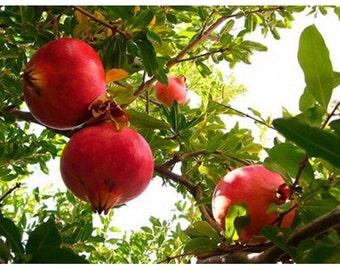 100 Pomegranate Tree Seeds, Punica Granatum