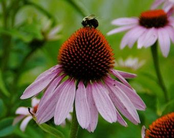 Echinacea with honey bee, Coneflower Print, Maine Photography, Botanical Art, Flower Print, Maine Flowers, Botanical Print