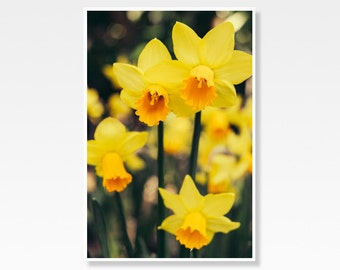 Yellow Daffodil Photography // Flower Field, Springtime, Narcissus // Nature Art Print, Flower Photography, Floral Wall Art, Yellow Decor