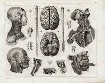Original Antique Black and White Human anatomy Steel Engraving Human Nerves Neurology - Brians