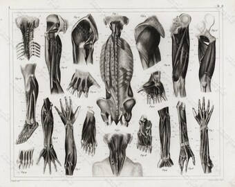 Original Antique Black and White Human anatomy Steel Engraving Human Muscles and Hands Extremities