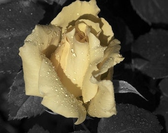 DIGITAL DOWNLOAD, Yellow Rose, Water Drops on Leaves, Black & White Wall Decor, Macro, Stock Photo, Available for print
