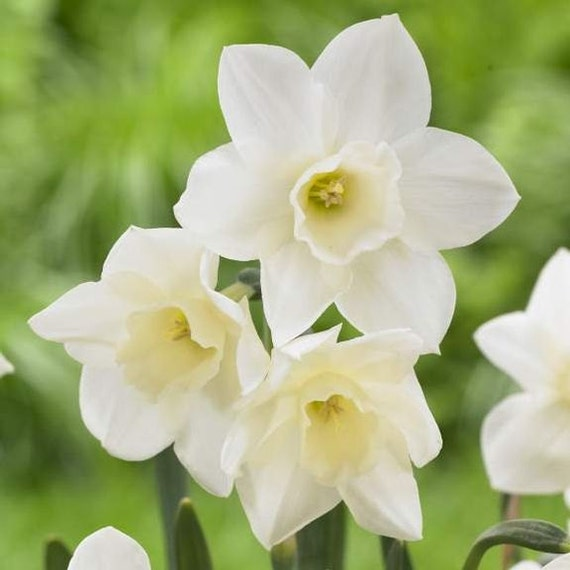DAFFODIL, Narcissus Pueblo, sweet fragrance that acts as a natural air freshener; most are great in pots, Now Shipping!