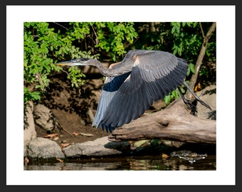 Great Blue Heron 8x10 Matted Picture