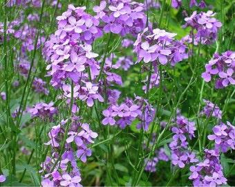 Dame's Rocket Hesperis- Violet- 500 seeds