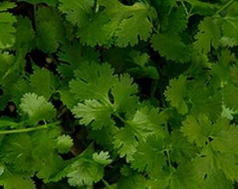 Cilantro- Chinese Parsley- Coriander- 50 Seeds