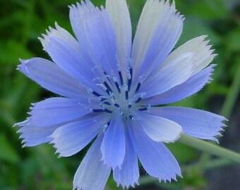 Chicory- Italian Dandelion- 400 seeds