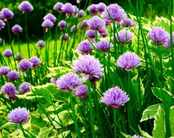 Chive Herb- 200 seeds