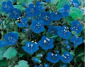 California Bluebells seeds- 500 seeds