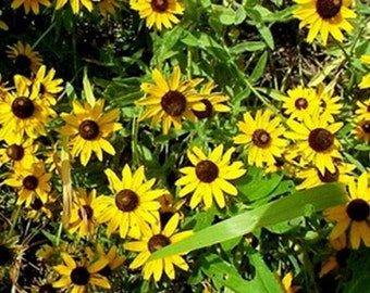 Black-Eyed Susan- 400 Seeds