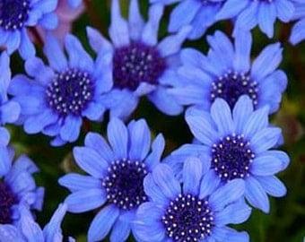 Blue Daisy seeds- 25 Seeds