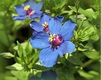 Blue Pimpernel- 200 Seeds