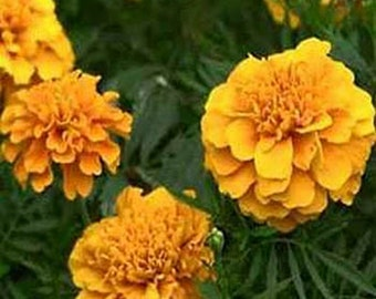 Marigold - Apricot- 50 seeds each pack