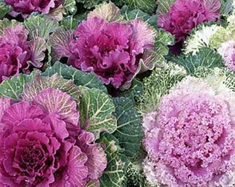 Ornamental  Kale- 50 seeds each pack