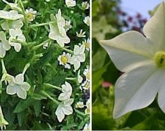 Nicotiana - White - 100 Seeds