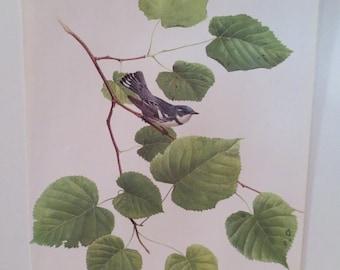 50% off ESTATE SALE Vintage Cerulean Warbler 1970 Frameable Picture, Wall  Art Print of Bird Watercolor by  J.F. Lansdowne Item 470