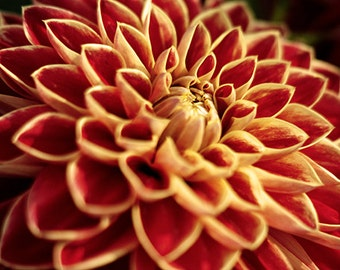 Dahlia wall art, Dahlia print, dahlia art, flower photography, photography prints, print wall art, orange decor, 8x10, 8x12, 11x14, macro
