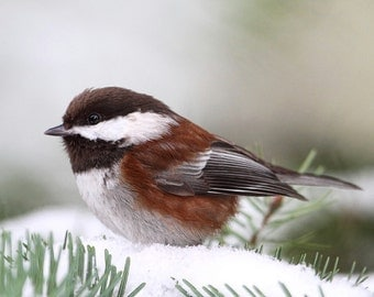 Nature Photos, Nature Print, Bird Prints, Bird Photos, Nature Photography, Chickadees, Pine Trees, Winter Phototography, Winter Nature
