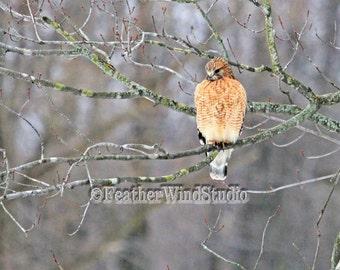 Red Shouldered Hawk Photo   Fine Bird Art   Raptor Photography   Hawk Perched On Branch   Buteo Art   Enhanced Bird Wall Decor   Hawk Print