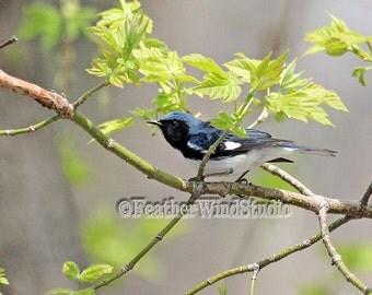 Black Throated Blue Warbler   Nature Photography   Bird Photo Art   Bird Lover Gift   Tropical Spring Migrant   Wildlife Decor   Bird Print