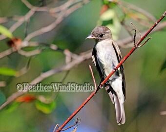 Songbird Photography | Eastern Wood Pewee | Contopus virens | Brown Flycatcher | Forest Bird Photo | Summer Songbird Wall Art | Pewee Print