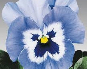 Joker Light Blue Pansy Flower Seeds / Biennial  35+