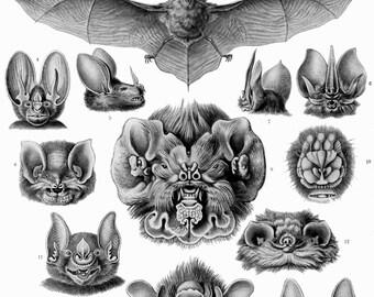 Ernst Haeckel Botanical Print - Nature Art Bat Biology Home Decor Wall Decor Giclee Art Print Poster A4 A3 A2 Large Print FLAT RATE SHIPPING