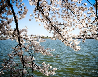 Tidal Basin Cherry Blossoms in Washington DC - Print, Canvas Gallery Wrapped Print
