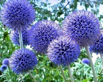 Globe Thistle Blue  Flower Seeds (Echinops Ritro) 30+Seeds