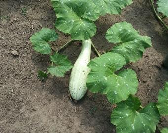 Pipianes, Pipian, Pipiansitos Organic Seeds