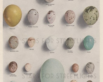 Vintage Egg / Bird Print Digital File, Antique Encyclopedia Page 8x11