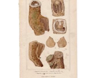 1837 SEA LIFE FORMS print original antique sea life ocean lithograph